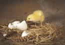 Was war zuerst: Die Henne oder das Ei?
