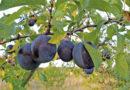 Zwetschkenbaum richtig pflanzen und pflegen