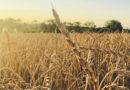 Dinkel: Gezüchtet fürs Brot