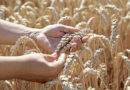 Vom Weizenkorn zum täglich' Brot