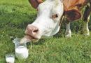 Kuh(les) Getränk